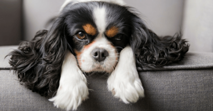 Recherchons petit chien style Cavalier King Charles pour tournage T'as Pécho avec Ramzy et Vincent Macaigne